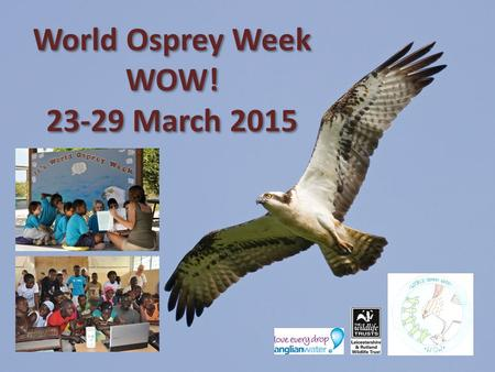 World Osprey Week WOW! 23-29 March 2015. Ospreys are amazing! With a wingspan of 1.5 metres they are one of our largest birds of prey. They are the only.