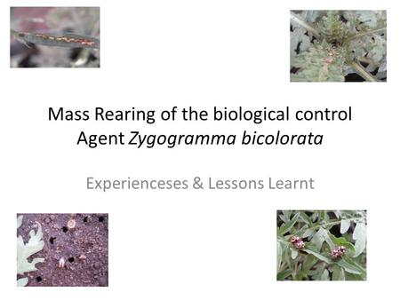 Mass Rearing of the biological control Agent Zygogramma bicolorata