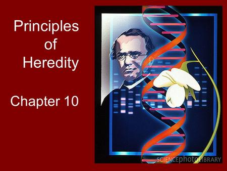 Principles of Heredity Chapter 10. Gregor Mendel Generally considered the 'Father of Modern Genetics' Worked with pea plants, keeping careful records.