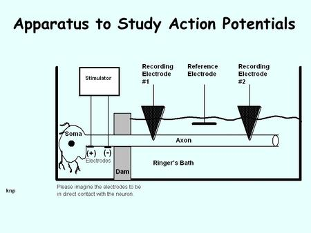 Apparatus to Study Action Potentials. Stimulus and Response.