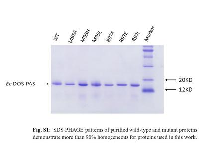 Fig. S1: SDS PHAGE patterns of purified wild-type and mutant proteins demonstrate more than 90% homogeneous for proteins used in this work. 20KD Ec DOS-PAS.