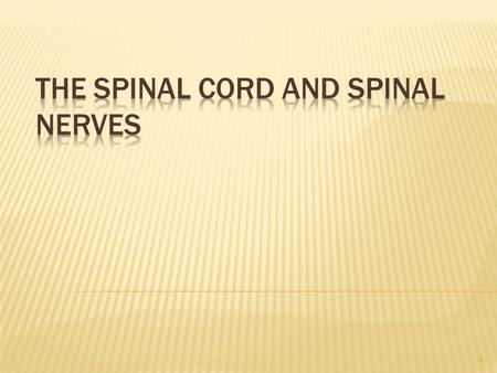 The Spinal Cord and Spinal Nerves