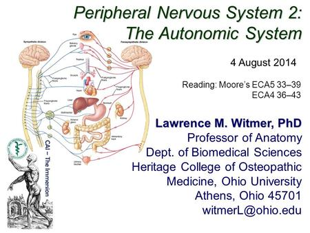 Peripheral Nervous System 2: The Autonomic System Lawrence M. Witmer, PhD Professor of Anatomy Dept. of Biomedical Sciences Heritage College of Osteopathic.
