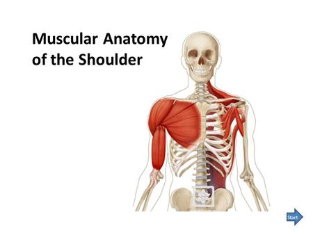 Muscular Anatomy of the Shoulder Start. Learning muscular anatomy takes time and memorization. This module will assist you in the process. Study each.