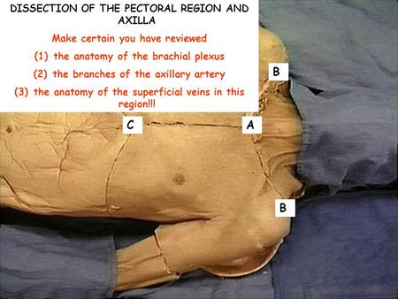 AC B B DISSECTION OF THE PECTORAL REGION AND AXILLA Make certain you have reviewed (1) the anatomy of the brachial plexus (2) the branches of the axillary.