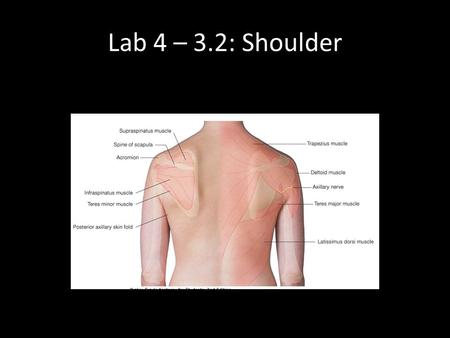 Lab 4 – 3.2: Shoulder. Deltoid Origin: spine of scapula, acromion, anterior lateral 1/3 clavicle Insertion: Deltoid tuberosity (humerus) Innervation: