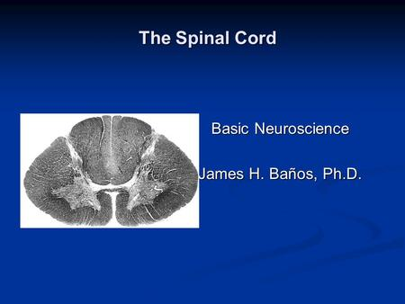 The Spinal Cord The Spinal Cord Basic Neuroscience James H. Baños, Ph.D.