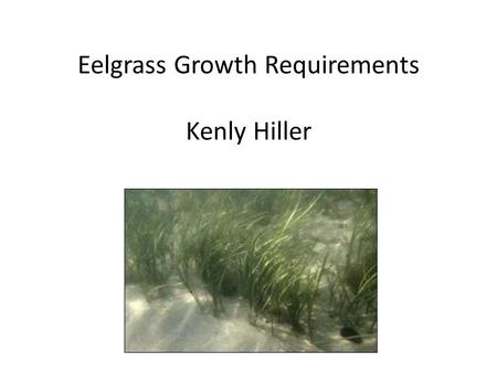 Eelgrass Growth Requirements Kenly Hiller. Eelgrass is important Supports variety of other organisms Affect sedimentation rates by modifying currents.