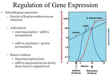Regulation of Gene Expression Inducible gene expression –kinetics of β-galactosidase enzyme induction –Add inducer start transcription = mRNA accumulation.