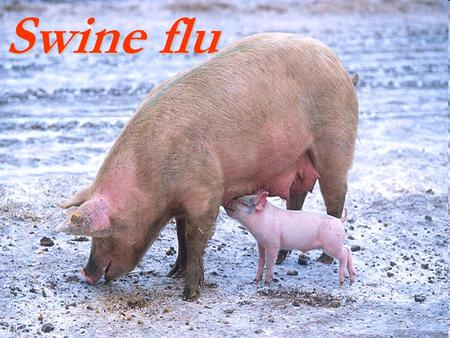 Swine flu. Etiology influenza virus is an orthomyxovirus. This type of virus is divided into three groups; type A, type B or type C. Type A viruses are.