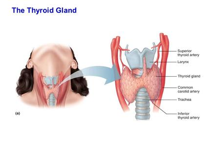 The Thyroid Gland. Figure 18.11a Largest endocrine glands in the body, Weighing ~ 20-25g. Functions early in life for the development of brain cells (forming.