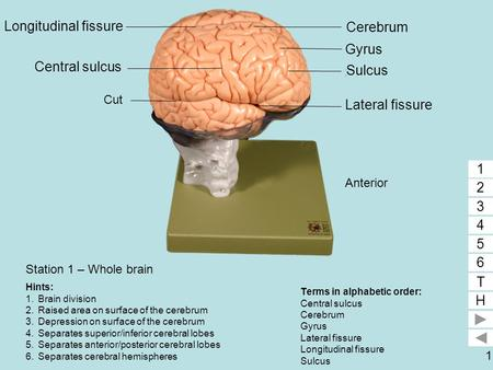 1 Station 1 – Whole brain Terms in alphabetic order: Central sulcus Cerebrum Gyrus Lateral fissure Longitudinal fissure Sulcus 1 2 3 4 5 6 T H 5 1 2 3.