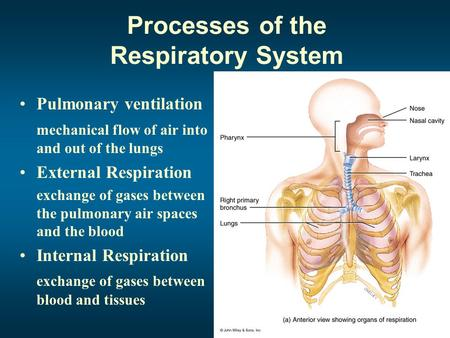 Processes of the Respiratory System