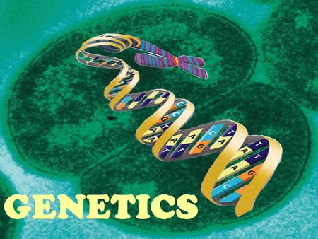 "GENETICS. Gregor Mendel ""FATHER OF GENETICS"" Genetics- scientific study of heredity; how traits are inherited Heredity the passing of traits from parents."