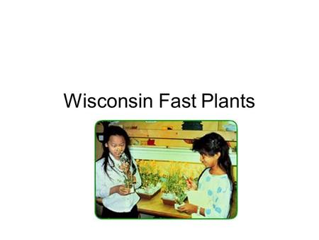 Wisconsin Fast Plants. What are Wisconsin Fast Plants? Type of mustard, radish, cabbage plant especially bred by Paul Williams of the University of Wisconsin.