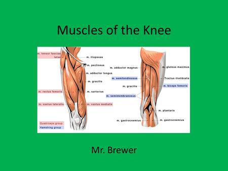 Muscles of the Knee Mr. Brewer. Muscles of the Knee Quadriceps (4) – - Vastus Medialis - Vastus Intermediate - Vastus Lateralis - Rectus Femoris Insertion/Origin: