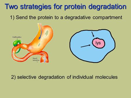 Lys Two strategies for protein degradation 1) Send the protein to a degradative compartment 2) selective degradation of individual molecules.