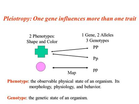 Pleiotropy: One gene influences more than one trait 2 Phenotypes: Shape and Color 1 Gene, 2 Alleles 3 Genotypes Map PPPppp Phenotype: the observable physical.