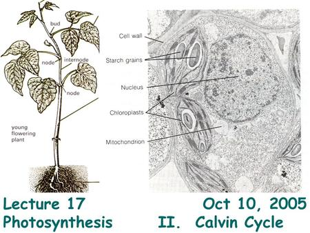 1 Lecture 17 Oct 10, 2005 Photosynthesis II. Calvin Cycle.