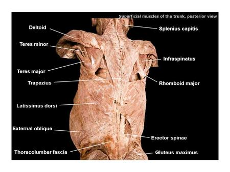 Splenius capitis Infraspinatus Rhomboid major Erector spinae Gluteus maximus Deltoid Teres minor Teres major Trapezius Latissimus dorsi External oblique.