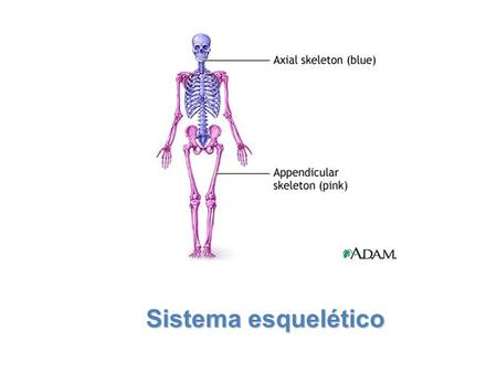 Lesson Overview Lesson Overview The Skeletal System Lesson Overview Lesson Overview The Skeletal System Sistema esquelético.