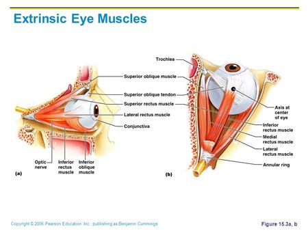 Copyright © 2006 Pearson Education, Inc., publishing as Benjamin Cummings Extrinsic Eye Muscles Figure 15.3a, b.