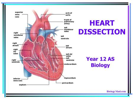 HEART DISSECTION Year 12 AS Biology BiologyMad.com.