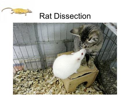 Rat Dissection. Dissection Equipment T pins Tray.
