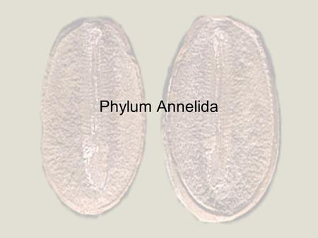 Phylum Annelida. Terrestrial, marine, freshwater. Repeating segments. Triploblastic. True coelomates – complete gut. Closed circulatory system. Well developed.