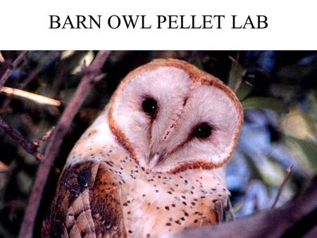 BARN OWL PELLET LAB.