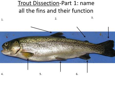 Trout Dissection-Part 1: name all the fins and their function 1. 2. 3. 4.6.5.