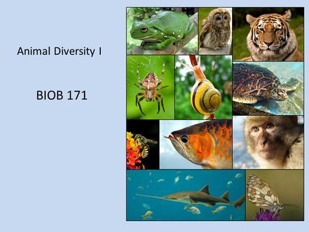 Animal Diversity I BIOB 171. Introduction Domain Eukarya, Kingdom Animalia Heterotrophic – obtain food by ingesting other organisms or their by-products.