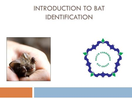 INTRODUCTION TO BAT IDENTIFICATION. South Yorkshire bats UK = 17 species South Yorkshire = 9-10 species  Small common bats of edge habitats  common.