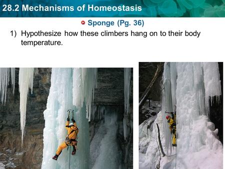 28.2 Mechanisms of Homeostasis Sponge (Pg. 36) 1)Hypothesize how these climbers hang on to their body temperature.