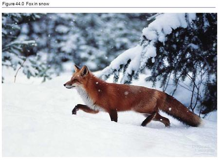 Figure 44.0 Fox in snow. Figure 44.1 Regulators and conformers.