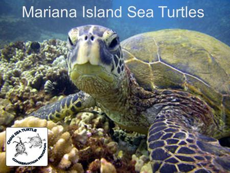 Mariana Island Sea Turtles. Background  Populations of sea turtles have been around since the time of the dinosaurs but their numbers have been drastically.