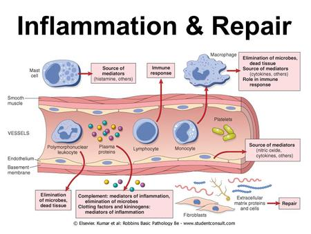 Inflammation & Repair. Inflammation Acute Inflammation Cardinal signs –Red (rubor) –Swelling (tumor) –Warm (calor) –Tender (dolor) –Loss of function.