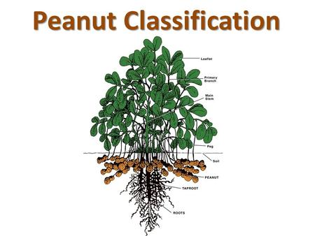 Peanut Classification. I like Peanut Butter Peanut Butter Pie with Pretzel Crust.