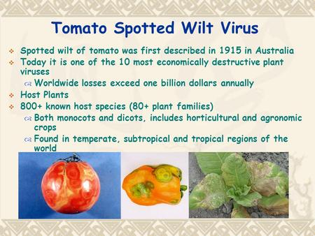 Tomato Spotted Wilt Virus  Spotted wilt of tomato was first described in 1915 in Australia  Today it is one of the 10 most economically destructive plant.