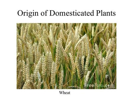 Origin of Domesticated Plants Wheat. Most domesticated food plants have been selected for: large plant parts soft edible tissue thick flesh with intense.