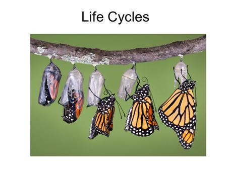"Life Cycles. Metamorphosis Process in which some animals change form at each stage of their life. Metamorphosis means ""change in form"". There are two."