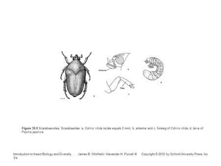 Introduction to Insect Biology and Diversity, 3/e James B. Whitfield / Alexander H. Purcell III Copyright © 2012 by Oxford University Press, Inc. Figure.