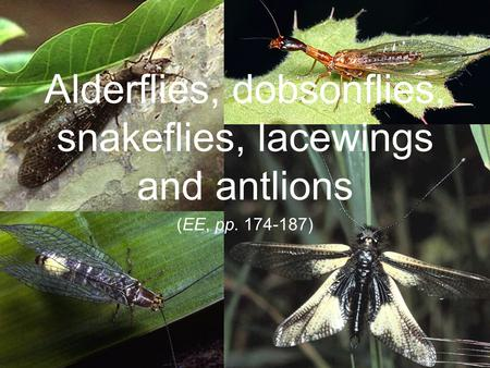 Alderflies, dobsonflies, snakeflies, lacewings and antlions