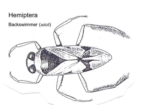 Hemiptera Backswimmer (adult).
