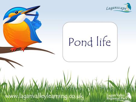 Pond life www.laganvalleylearning.co.uk. A pond is a hollow in the ground where water collects. Ponds are different to rivers. Rivers are fast flowing.