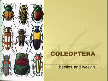 COLEOPTERA beetles and weevils. COLEOPTERA Coleos: sheath Ptera: wing Complete Chewing Wings: –Front: hardened (elytra), not for flight –Back: membranous.