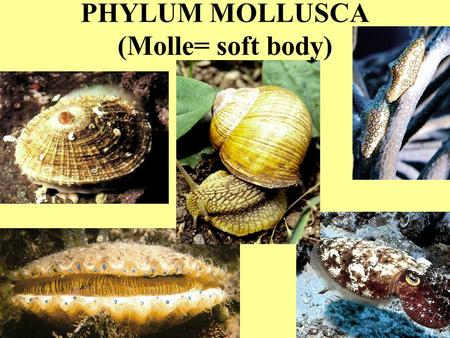 PHYLUM MOLLUSCA (Molle= soft body). PHYLUM MOLLUSCA OVER 100,OOO LIVING SPECIES; MANY 1000'S OF FOSSIL SPECIES FOUND IN ALMOST ALL ENVIRONMENTS: MARINE,