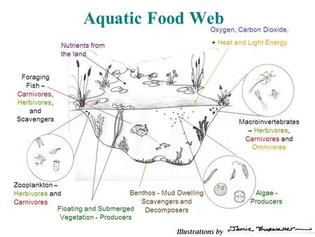 Aquatic Food Web Algae - Producers Benthos - Mud Dwelling Scavengers and Decomposers Zooplankton – Herbivores and Carnivores Macroinvertebrates – Herbivores,