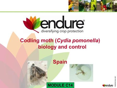 © ENDURE, February 2007 FOOD QUALITY AND SAFETY © ENDURE, February 2007 FOOD QUALITY AND SAFETY Codling moth (Cydia pomonella) biology and control Spain.