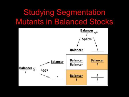Studying Segmentation Mutants in Balanced Stocks.